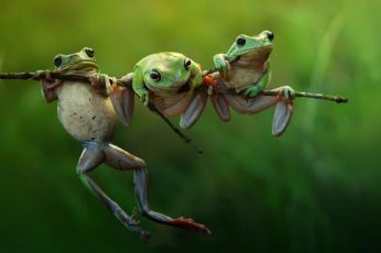Green frogs wallpaper, selective focus photography of three green frogs on tree trunk