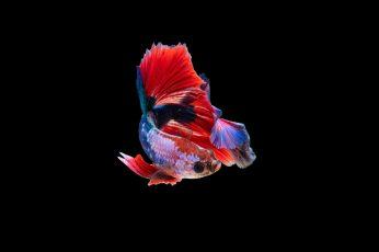 Siamese fighting fish wallpaper, dark, amoled, animals, animal themes