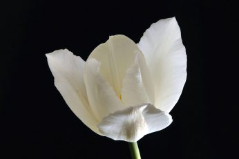 White flower wallpaper, White Tulip, nature, plant