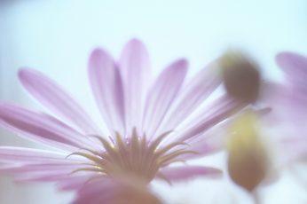 Purple Osteospermum flower wallpaper, nature