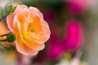 Orange flower vie wallpaper, rose, rose, bokeh, nature, plant, close-up