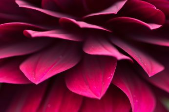 Purple petaled flower wallpaper, macro, red