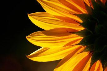 Yellow Sunflower flower wallpaper, sunflower, Backlit, nature