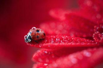Red flower petals wallpaper, dew, ladybug