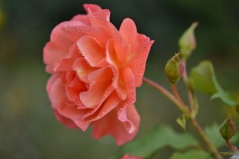 Pink rose flower wallpaper, orange, nature, floral