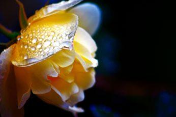 Yellow petaled flower wallpaper, rose, rose, nature, close-up, macro, plant
