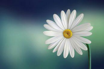 White daisy macro wallpaper, marguerite, beautiful, beauty