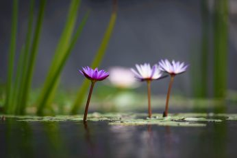 White and purple Lotus Flower selective wallpaper, lotus flowers