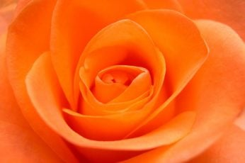 Macro photo of orange Rose flower wallpaper, flower Flower, petal, nature
