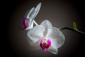 White-and-pink Moth Orchid Flowers wallpaper