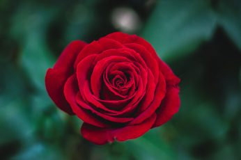 Shallow focus photography of red rose wallpaper