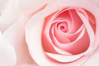 Pink rose wallpaper, Blume, flower, Panasonic Lumix G5