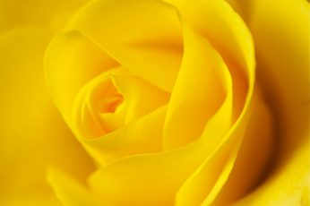 Yellow rose wallpaper, beauty, nature, nikon d90, petal, flower, close-up