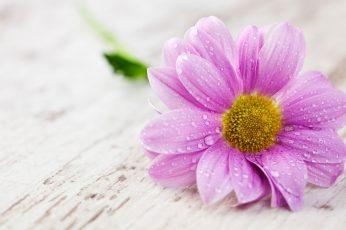 A pink flower petals with water drops macro wallpaper