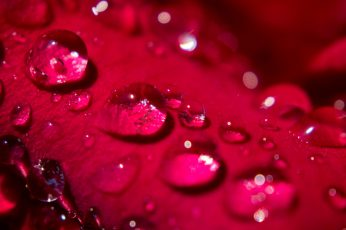 Drop of water wallpaper, rose, rose, Morning Dew, Petal, pedal, water drop