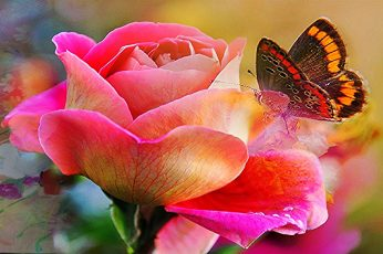 Painted Lady butterfly on pink Rose wallpaper, butterfly, rose