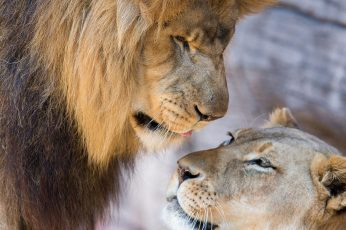 Lion wallpaper, lioness, love, couple, lion and cub