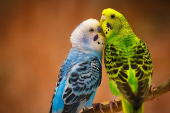 Parrots couple love wallpaper, birds