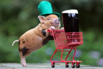 Brown piglet wallpaper, humor, beer, funny hats, baby animals, pigs, Guinness