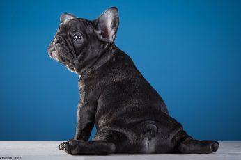 Puppy funny wallapper, French bulldog
