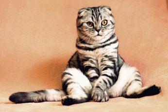 Gray and black Scottish fold cat wallpaper, sitting, cool, funny, mammal