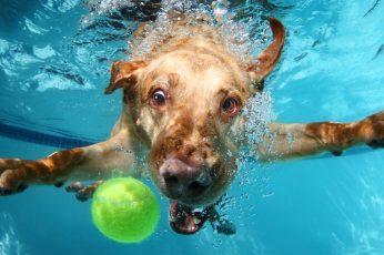 Labrador wallpaper, cute animals, funny, underwater, dog