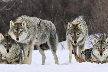 Four grays wolfs wallpaper, animals, snow, animal wildlife, animal themes