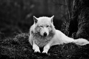 Wolf wallpaper, alaskan tundra wolf, white wolf, black and white, wildlife