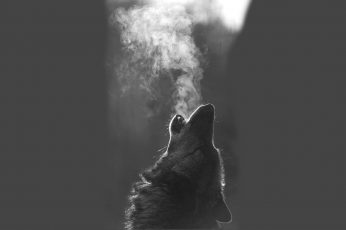 Grayscale wolf howling wallpaper, animals, monochrome, mammal, one animal