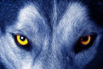 Yellow wolf eyes wallpaper, look, wild, wild animal