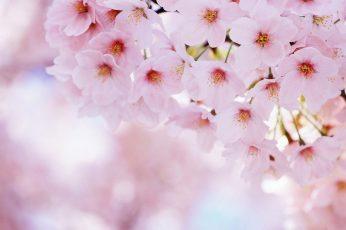 Pink flower wallpaper, floral, petal, spring, plant, blossom, flowers