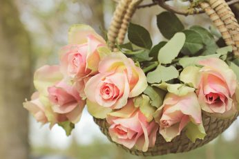 Shallow focus photography of pink flowers wallpaper, roses, noble roses