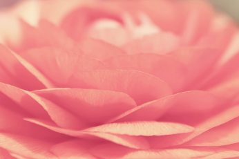 Rose wallpaper, pink, flower, floral, petal, blossom, bouquet, flowers