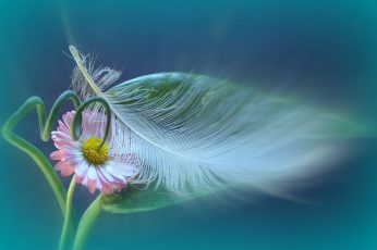 Pink daisy flower with white bird feather wallpaper