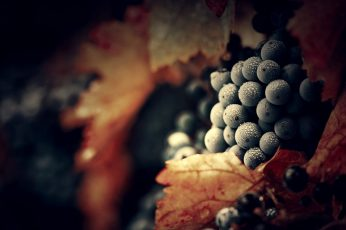 Bunch of blue grapes wallpaper, water drops, macro, fruit, food and drink