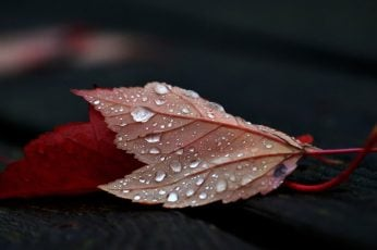 Red leafed plant wallpaper, close-up photo of red leaf with dew, nature