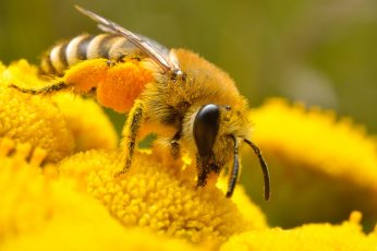 Micro photo of Honey bee perched on yellow petaled flower, insect wallpaper
