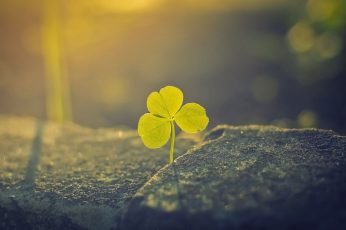 Green leafed plant wallpaper, green three leaf clover, nature, macro, depth of field