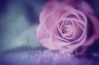 Pink rose wallpaper, flowers, macro, roses, water drops, pink flowers, flowering plant