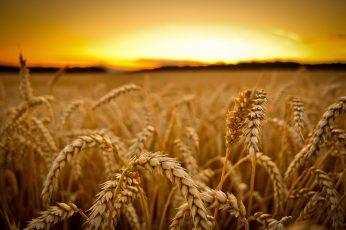 Wheat field wallpaper, low-angle photography of wheats, sunset, macro, depth of field