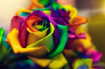 Multicolored flower wallpaper, closed photograph multicolored rose arrangement