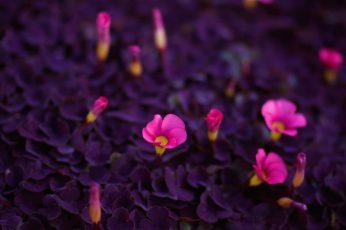 Pink petaled flowers wallpaper, purple and pink flowers, nature, macro
