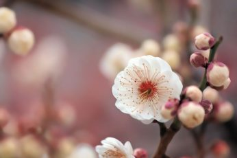 Macro photography of white Cherry Blossom flower wallpaper, to use, texture