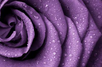 Purple petaled flower wallpaper, rose, nature, closeup, rain, flowers, water drops