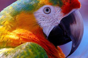 Beak wallpaper, bird, parrot, macaw, close up, feather, parakeet, macro photography