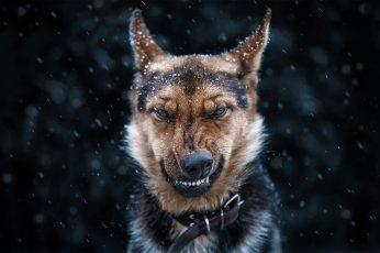 Wallpaper Adult Black And Tan German Shepherd, Dog, Snow
