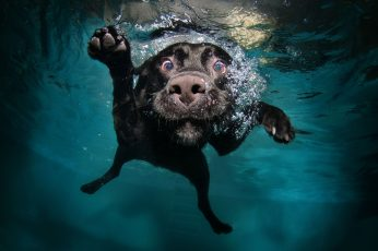 Wallpaper Adult Black Labrador Retriever, Dog, Underwater