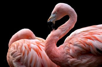 Wallpaper Animals, Flamingos, Birds, Black Background