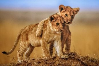 Wallpaper Brotherly Love Lion Cubs Photo Animals From Savanna