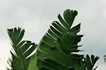 Wallpaper Close Up Photography Of Banana Leaf